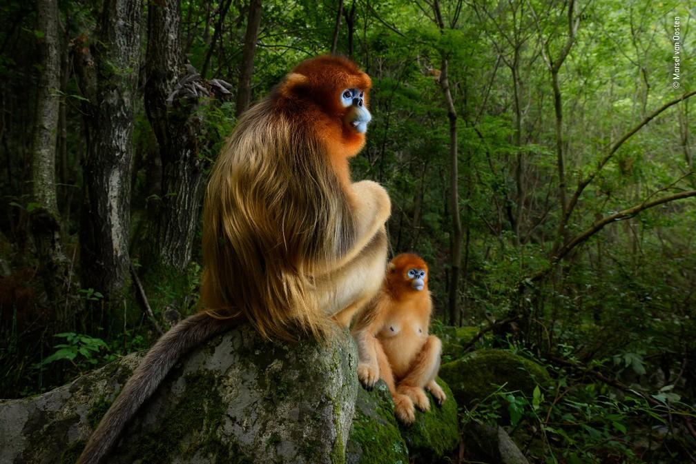 'The Golden Couple', do fotógrafo Marsel van Oosten, vencedora do prêmio principal do concurso Wildlife Photographer of the Year 2018 — Foto: Marsel van Oosten