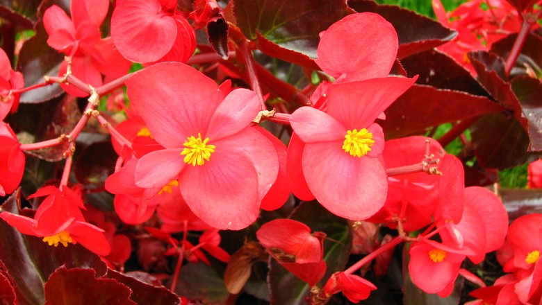 Begonia semperflorens (Foto: Own work/Creative Commons)