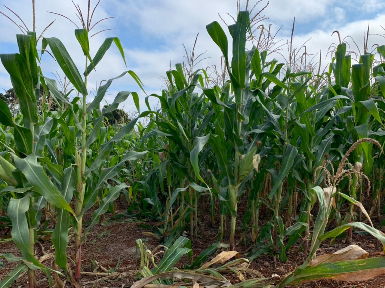 Plantação de milho do Colégio Agrícola é alvo de furto em Foz do Iguaçu