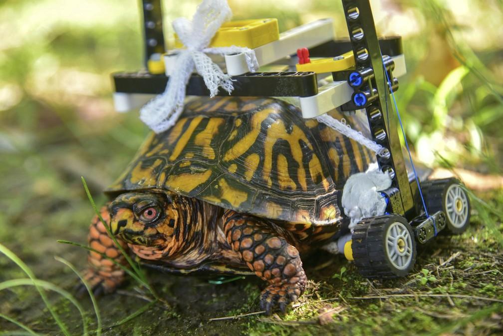 Tartaruga ganha cadeira de rodas feita de Lego em zoológico nos EUA — Foto: Sinclair Miller/Zoológico de Maryland via AP