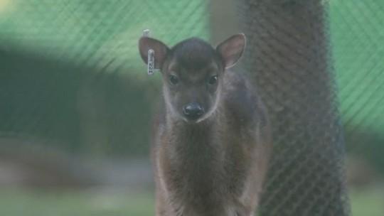Filhote raro de cervo faz primeira aparição em zoológico do Reino Unido; veja vídeo