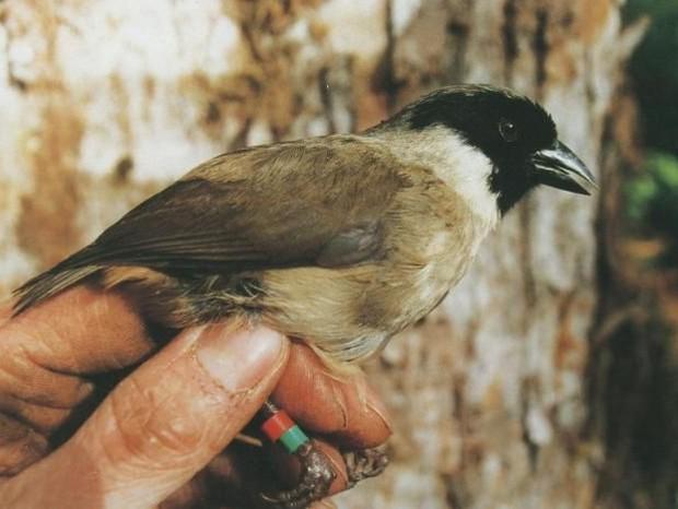 Pássaro do Havai (Foto: PAUL E. BAKER / SERVIÇO DE PESCA E VIDA SELVAGEM DOS EUA)