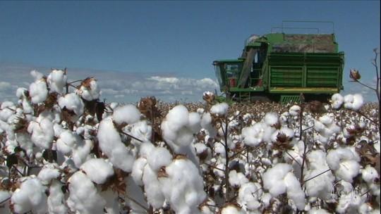 Começa a colheita do algodão na Bahia