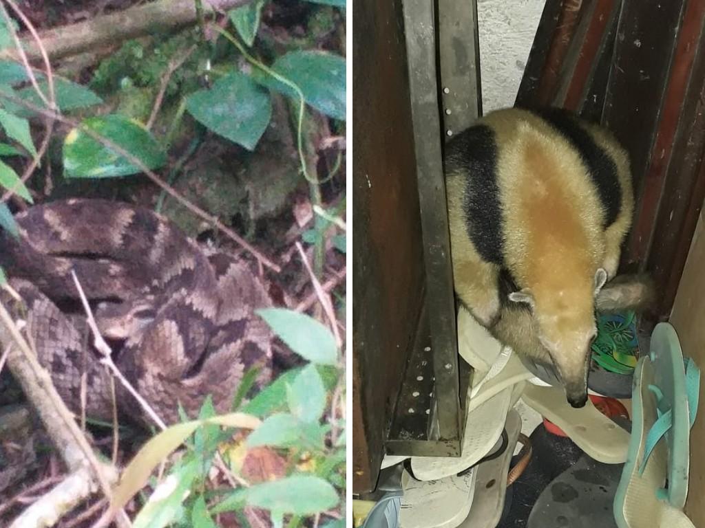 Jararaca e tamanduá achados em residências são resgatados pela GCM Ambiental de São Vicente, SP