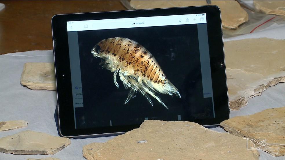 Crustáceo com mais de 110 milhões de anos correspondente a fóssil encontrado em Presidente Dutra — Foto: Reprodução/TV Mirante