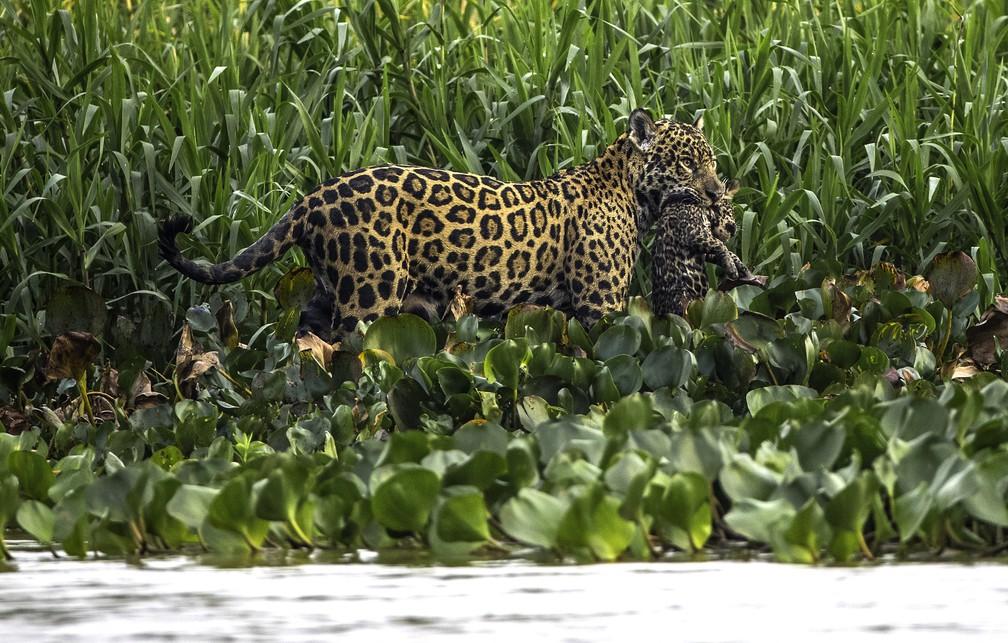 Onça-pintada é registrada carregando filhote na boca. Cena foi capturada o dentista e fotógrafo de natureza Mike Bueno no rio Cuiabá, no Pantanal (Foto: Mike Bueno/Vc no TG)