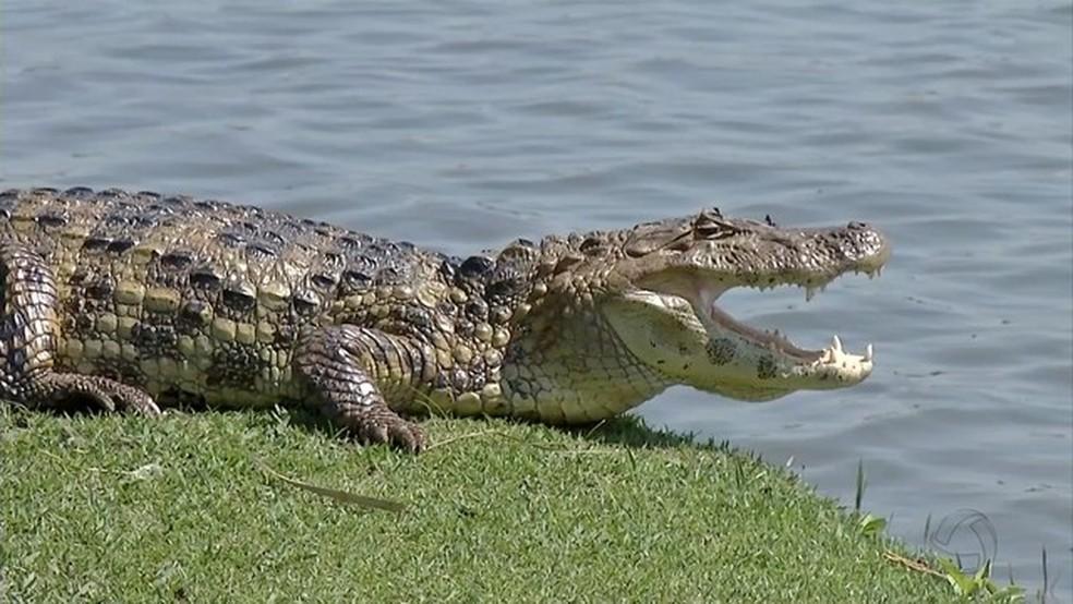 Doze jacarés são removidos da Lagoa Maior em Três Lagoas (MS) para evitar ataques. — Foto: TV Morena/Reprodução