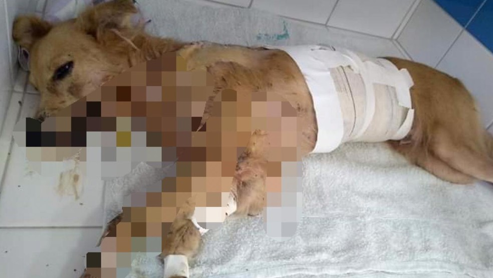 Cadela Lili foi esfaqueada 12 vezes ao tentar proteger os donos de criminosos — Foto: Reprodução/Redes Sociais