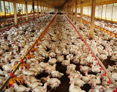 Disparada no preço do milho faz produtor de aves ter pior poder de compra em 10 anos