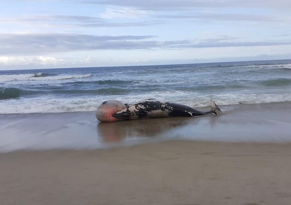 Baleia minke encalhou morta em faixa de areia em Florianópolis — Foto:  Emanuel Ferreira/R3Animal