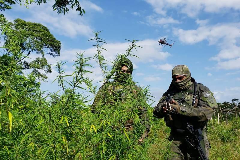 Polícia destrói plantação de maconha em terreno do tamanho de cinco estádios de futebol em Terra Alta, no Pará
