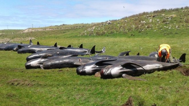Baleias-piloto serão enterradas na areia da praia (Foto: DOC)