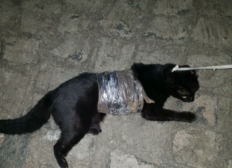 Gato foi resgatado com drogas caminhando próximo ao Presídio Serrotão, em Campina Grande — Foto: Reprodução/TV Paraíba