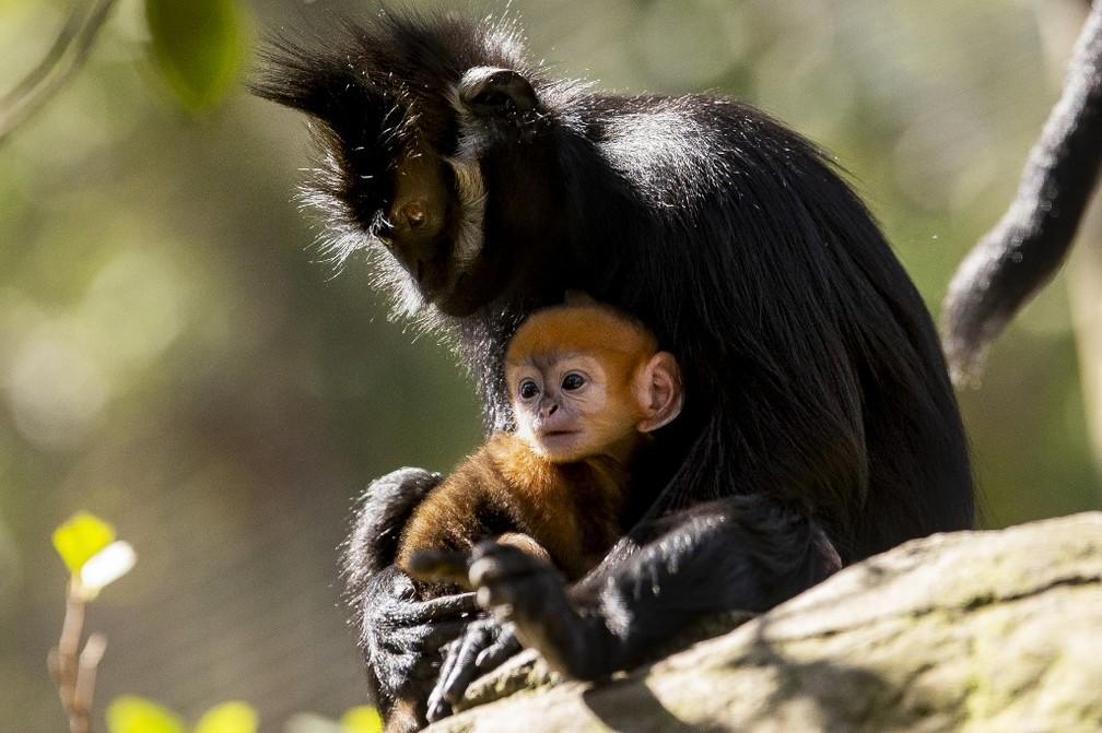 Espécie rara de macaco se reproduz em zoológico na Austrália — Foto: Rick Stevens/Taronga Zoo/AFP