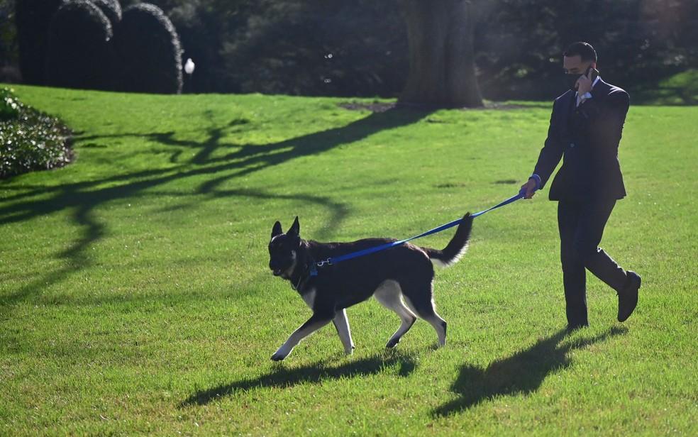 Major, cão da família Biden, passeia no gramado da Casa Branca, na segunda-feira (29) — Foto: Jim Watson/AFP