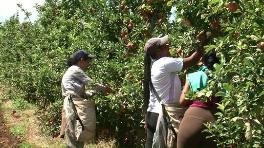 Paraná inicia colheita da maçã com estimativa de queda de 30%
