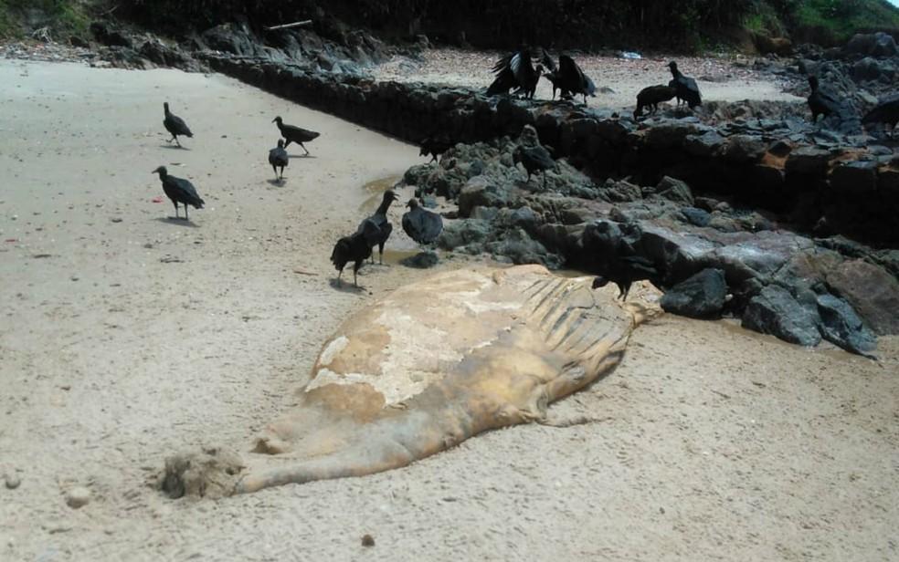 Filhote de baleia foi encontrado na quarta-feira (26) — Foto: Carina Miranda/Arquivo Pessoal