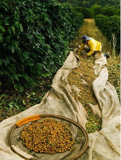 café-grao-lavoura-colheita (Foto: Divulgação )