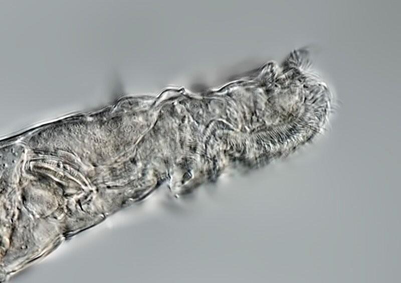Ao congelar e descongelar dezenas desses rotíferos, os cientistas descobriram que os organismos podem suportar a formação de cristais de gelo – que ocorre durante o congelamento lento (taxa de 1º/min) – por pelo menos sete dias (Foto: Michael Plewka)