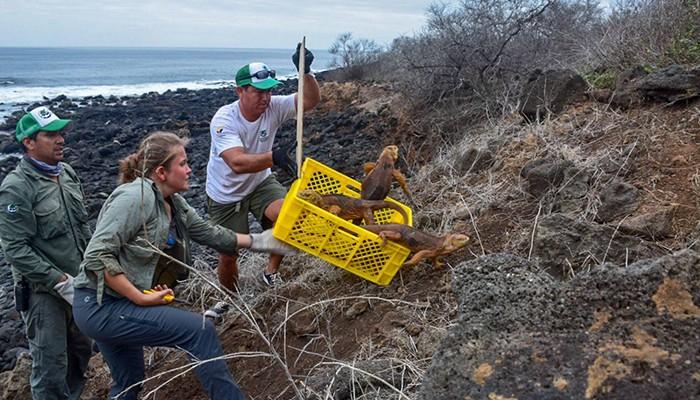 As iguanas foram reintroduzidas em Galápagos (Foto: Reprodução/Facebook/Parque Nacional Galápagos)