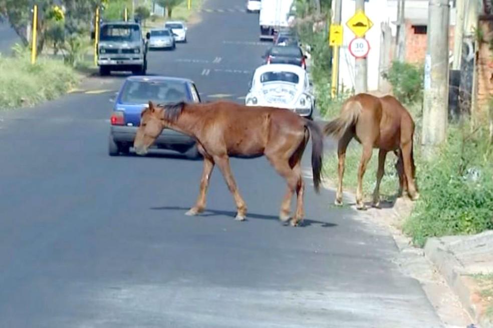 Animais de grande porte oferecem risco à população (Foto: TV TEM/Reprodução)