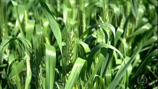 Trigo de qualidade é produzido no calor de Goiás e até na Bahia