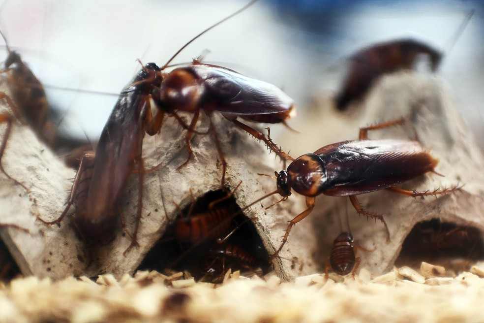 criacao-baratas1 Fazendas de baratas na China, um negócio tão repulsivo como lucrativo Mundo
