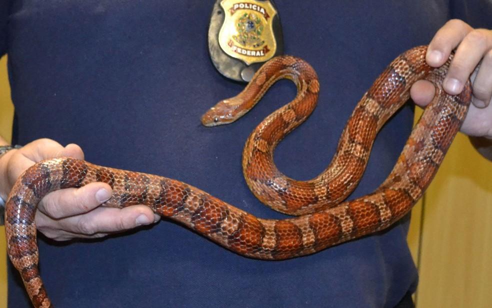 Cobra-do-milho foi apreendida por agentes federais (Foto: Divulgação / Polícia Federal)