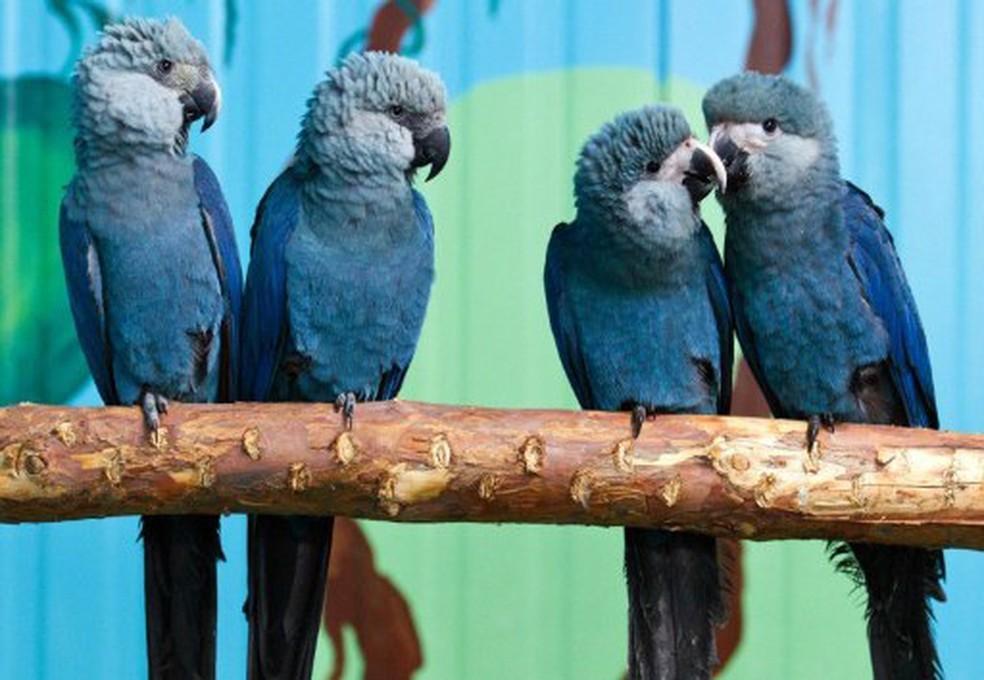 Ararinha-azul não é vista em liberdade desde 2000. Um projeto pretende fazer o mesmo que está ocorrendo com a arara-de-lear e prepará-las para soltar na natureza. — Foto: AFP