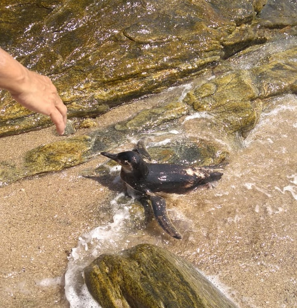 Pinguim-de-Magalhães é resgatado ferido em praia de Rio das Ostras, no RJ — Foto: Elias Coutinho/arquivo pessoal