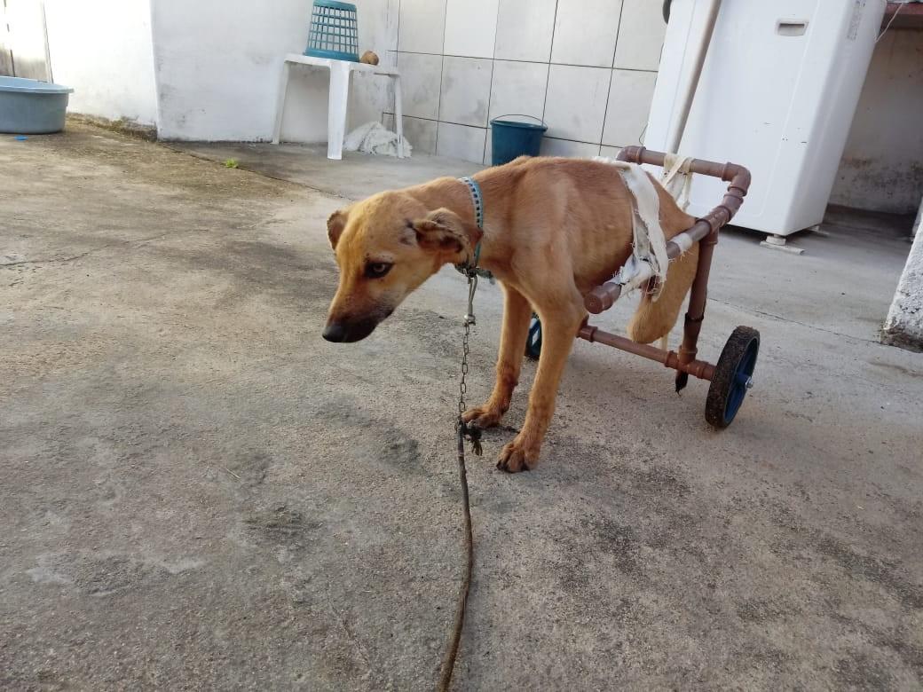 Cachorro ganha cadeira de rodas artesanal depois de ser atropelado e perder movimentos das patas em AL - Noticias