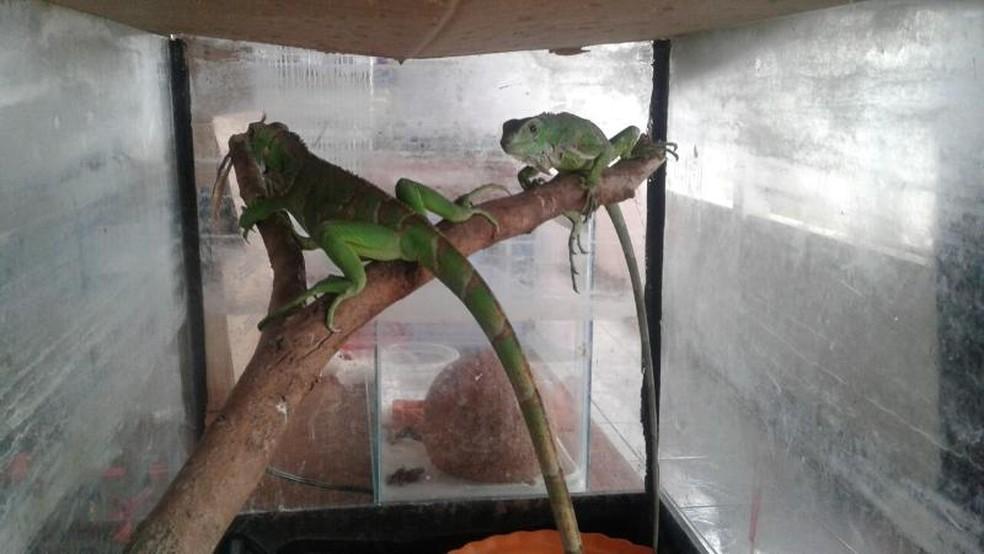 Foram apreendidas duas iguanas e duas cobras (Foto: Polícia Ambiental)