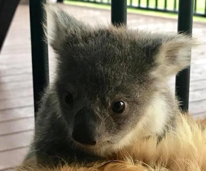 Bebê coala é encontrado junto de cachorro (Foto: Reprodução/ Facebook)