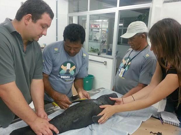 Filhote recebe cuidados de veterinários do Inpa, em Manaus (Fot Séfora Antela/Ampa)