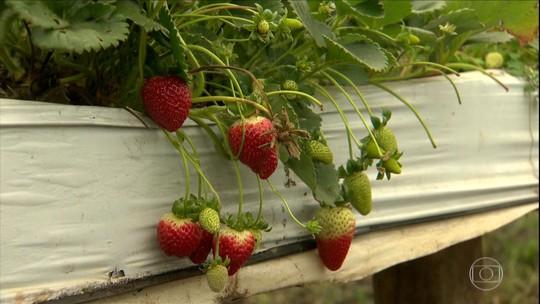 Livro da Embrapa ensina a cultivar morangos passo a passo