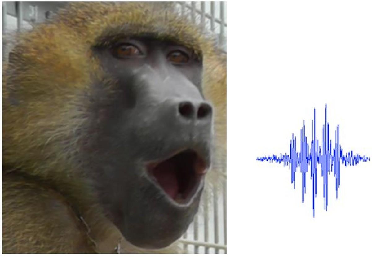 Voz de babuínos produz 5 sons de vogais similares aos humanos