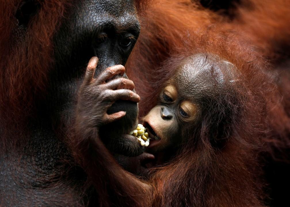 11 de janeiro - Khansa, o 46º orangotango bebê do zoológico de Cingapura, se alimenta com a mãe Anita durante uma visita da imprensa para ver os animais recém nascidos no local (Foto: Edgar Su/Reuters)