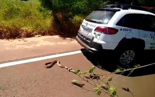 Polícia Ambiental tira jiboia de rodovia para evitar atropelamento em Arealva