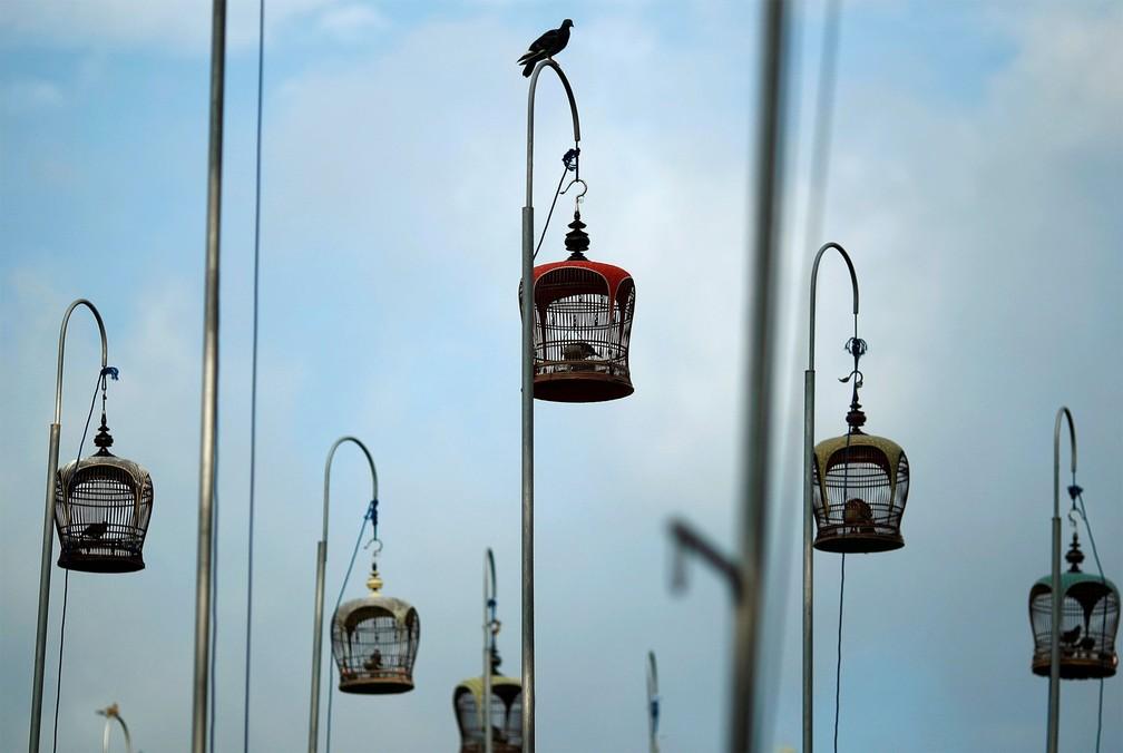 25 de junho - Uma pomba pousa no topo do poste de uma das gaiolas com rolinhas-zebrinhas durante competição de canto de 'merboks' no Clube de Canto de Pássaros Kebun Baru, na capital de Cingapura. 'Merbok' é o nome pelo qual a espécie é conhecida no país — Foto: Edgar Su/Reuters
