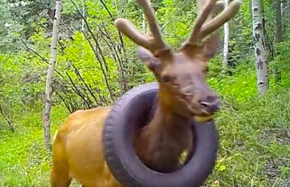 Vídeo usado por pesquisadores para controle da vida animal no Colorado mostrou o animal com o pneu preso no pescoço — Foto: Reprodução/CPW