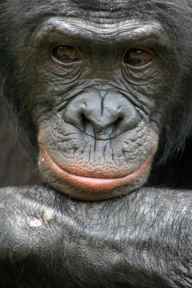 O bonobo Mikeno, no Congo, é mostrado em foto sem data cedida pela associação Amigos dos Bonobos (Foto: AP)