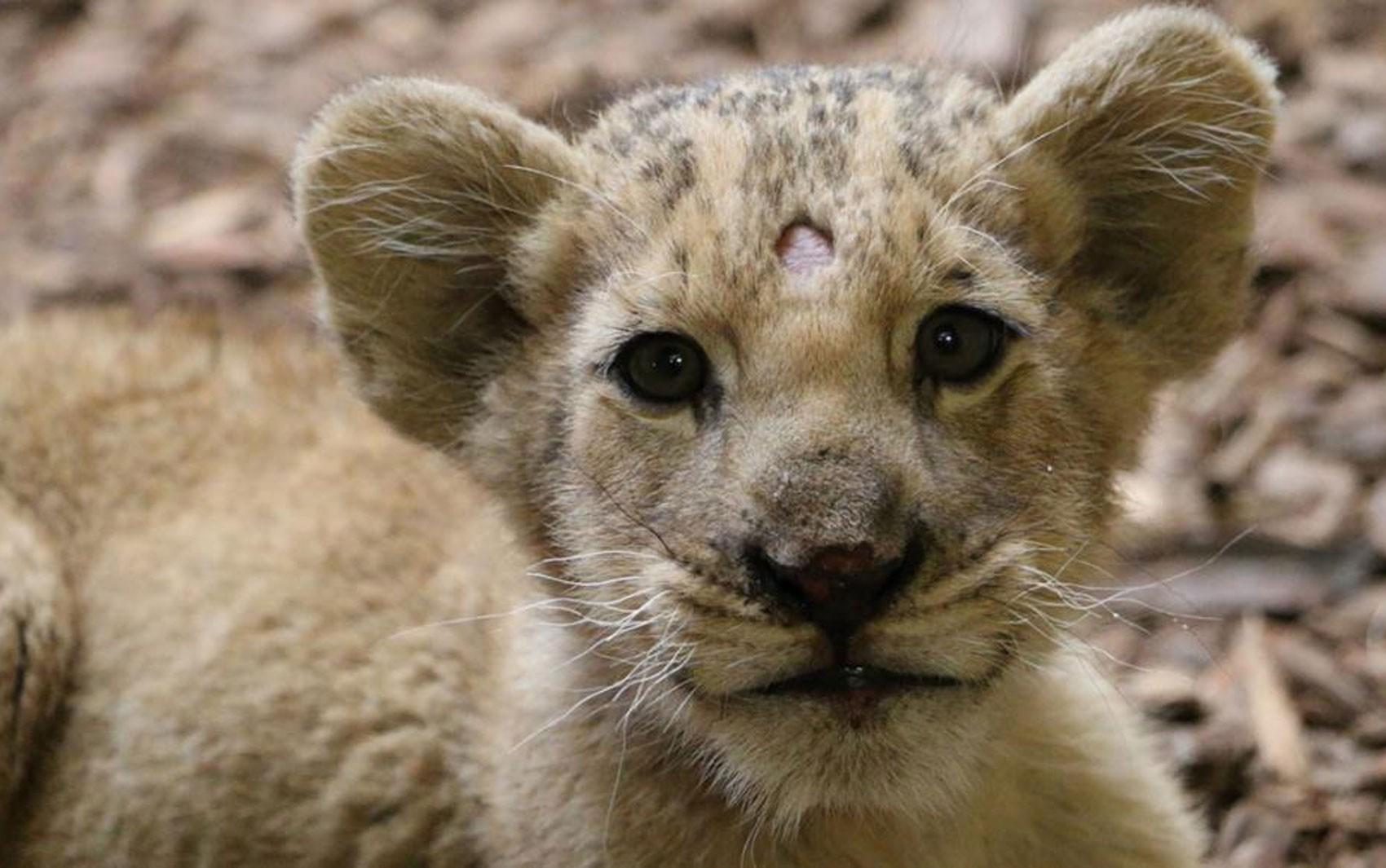 Turismo e selfies com filhotes de leão se multiplicam na França e alertam autoridades