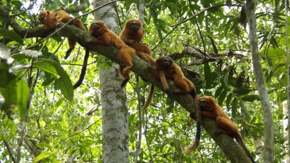 Importado por europeus, usado como animal de estimação e vítima de contrabando: trajetória do mico-leão-dourado tem sido de sufocos — Foto: DIVULGAÇÃO/AMLD/ANDRÉIA MARTINS