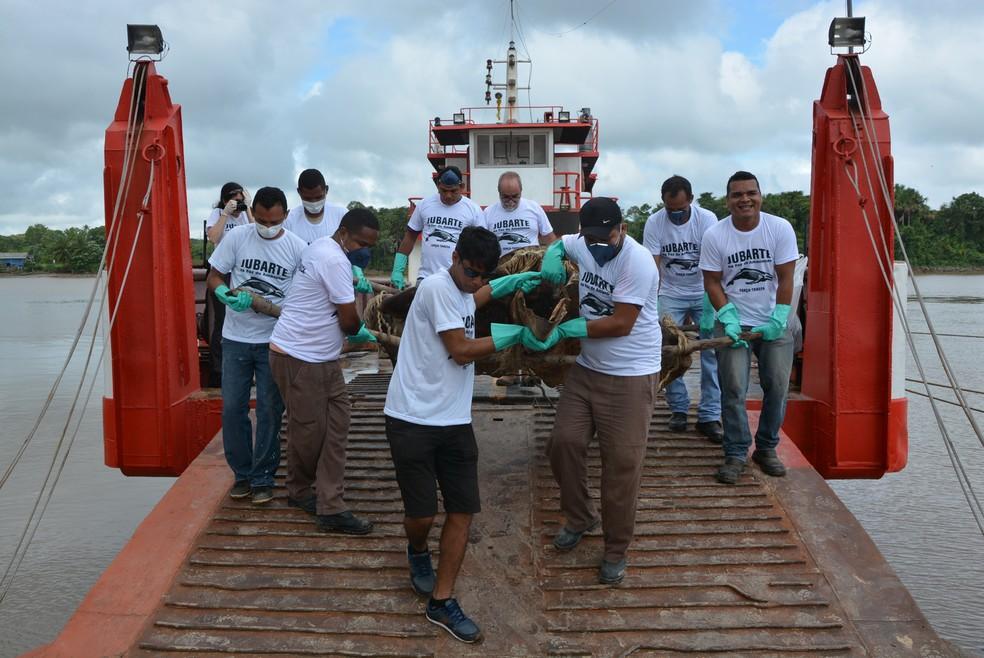 Transferência da ossada da baleia-jubarte, da praia no Bailique para o Iepa — Foto: Acervo Iepa/Divulgação