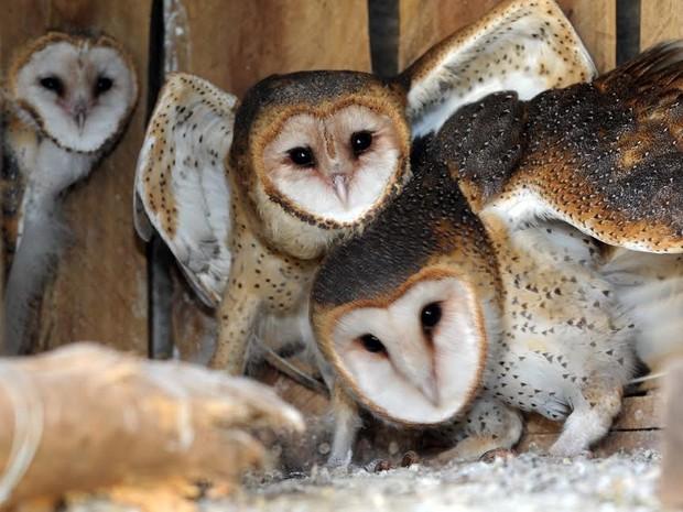 Corujas do zoo de Piracicaba recebem nome após campanha no facebook (Foto: Wagner Morente/Prefeitura de Limeira)