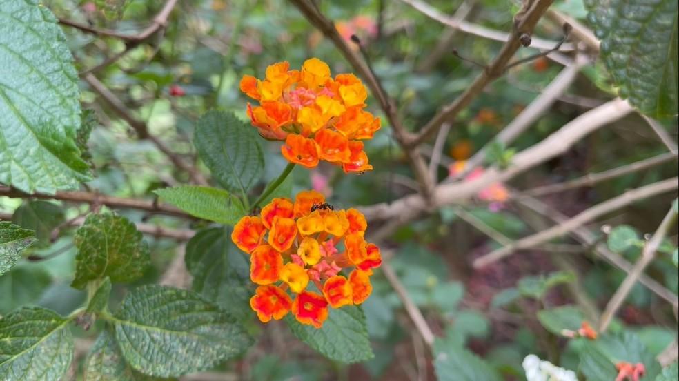 Lantana apresenta flores coloridas e também atraem borboletas — Foto: Ananda Porto/TG
