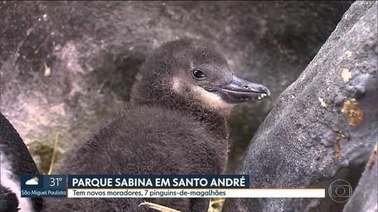 Sete pinguins nascem em parque de Santo André, na Grande SP