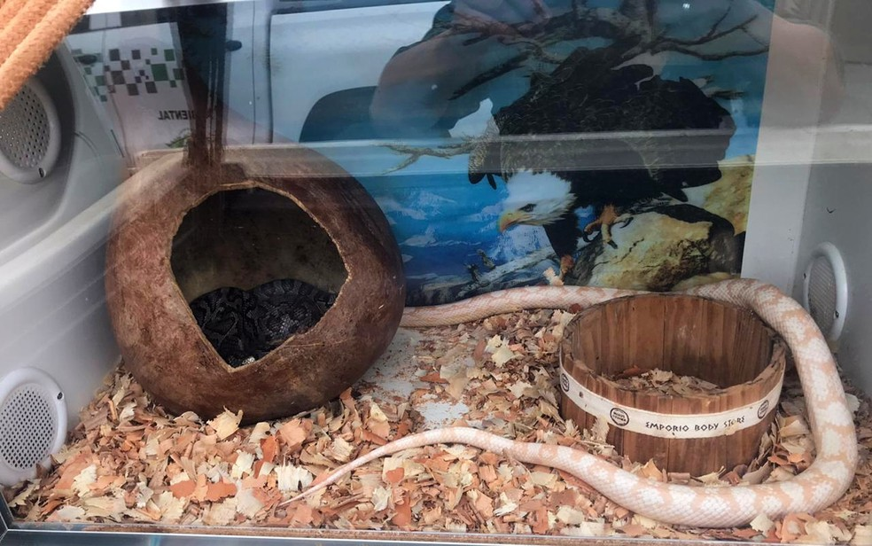 Cobras exóticas são apreendidas pela Polícia Ambiental em casa de Franca (SP) — Foto: Polícia Ambiental/Divulgação