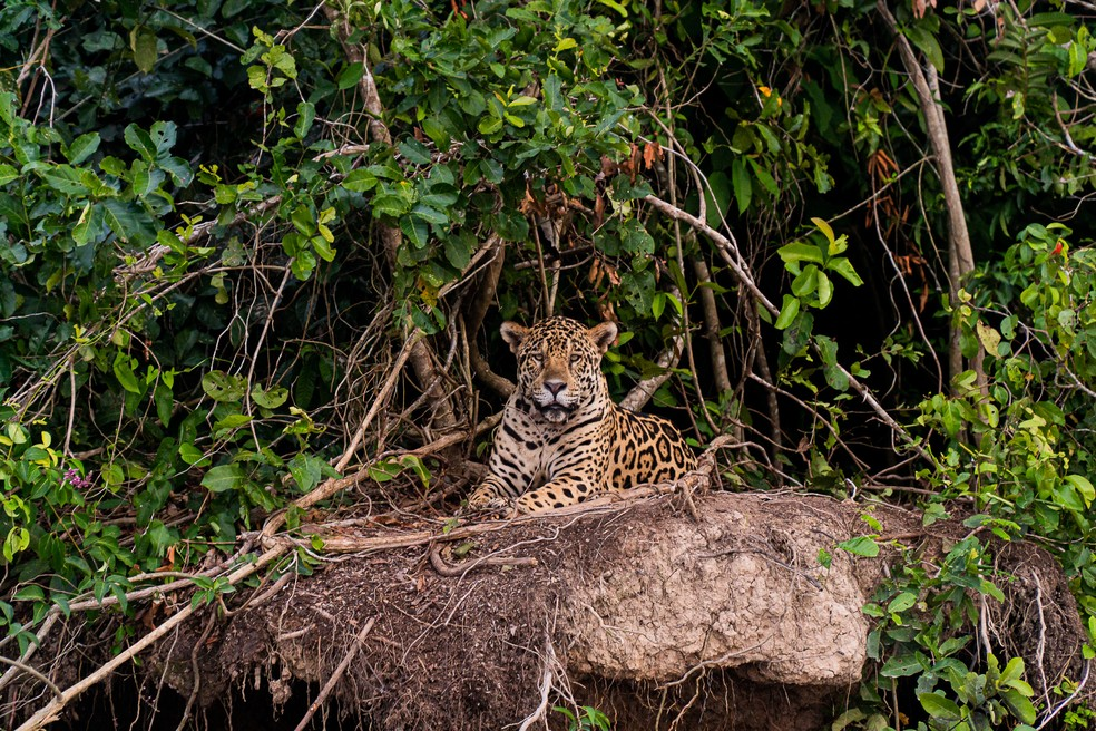 A onça-pintada Juru descansa em um barrando no Parque Estadual Encontro das Águas — Foto: Eduardo Palacio/G1