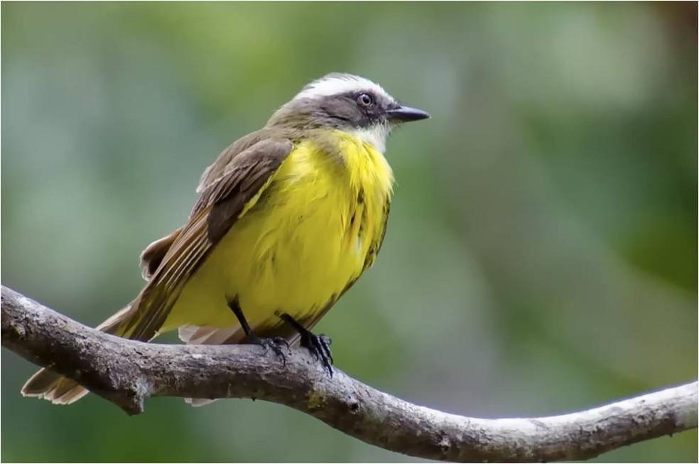 Bentevizinho-de-penacho-vermelho pesa entre 24 e 27 gramas (Foto: Alexandre Carvalho/VC no TG)